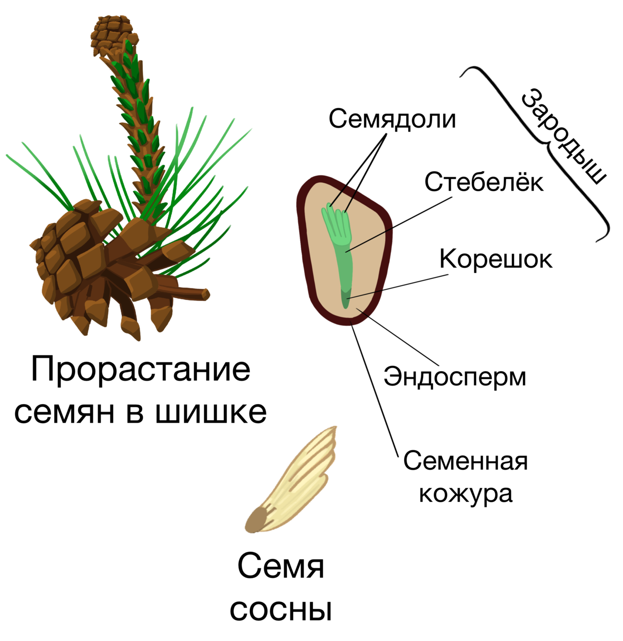 семя и спора у цветковых