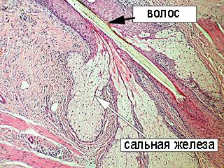 Железы эндокринного аппарата